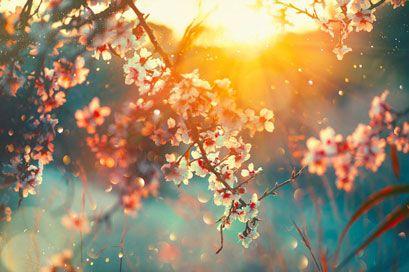 Kirschblüten, Sonnaufgang, Natur, Sonne, Ast