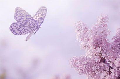 fliegener Schmetterling und Lavendel, Blume, violett, lila,